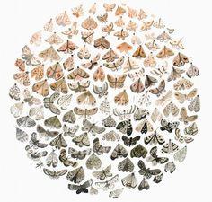 Ombre moth illustration by Sarah Burwash