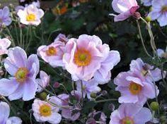 Resultado de imagen para clematis+flores