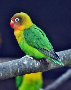 Fischer's Lovebird (Agapornis fischeri).