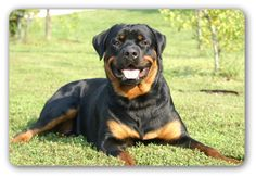 Rottweilers are great dogs and quite friendly.  Sometimes they can be hard headed.  This is when you need to employ some advanced training techniques to maintain your role as their leader and provider.