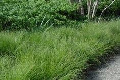 Versatile Sedges for Lawn and Garden – The Native Plant Herald