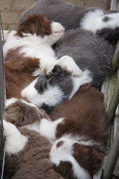 #babyanimaloftheday Jan 2nd, 2013 pile of Bearded Collie puppies