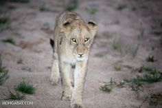 Australia becomes first country to ban lion trophies by Supertrooper http://focusingonwildlife.com/news/australia-becomes-first-country-to-ban-lion-trophies/