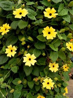 Black Eyed Susan Vine; The fast-growing Black Eyed Susan Vine (also called the Thunbergia or Clock Vine) adds a little drama with its solid black eye, framed by sunny yellow, white, or bold orange flowers. They're easy to grow from seed, prefer full sun, and grows 6 to 8 feet tall: TreeHugger