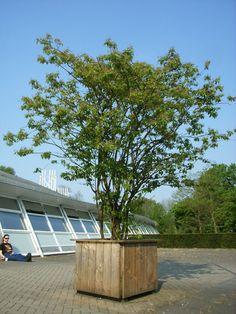 Krentenboom - Google-Suche