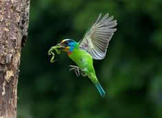 muller's barbet (photo by d.h.)