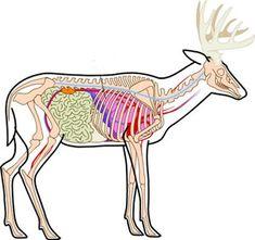 Deer Anatomy Pic