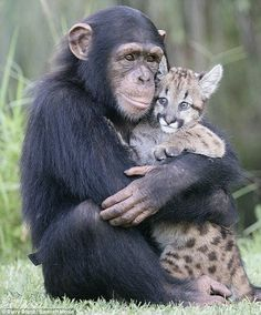 Chimpanzee leopard love