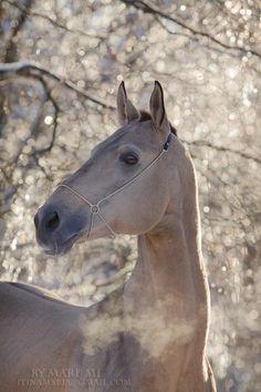 Akhal-teke stallion Perimetr in ice forest, illuminated with sun rays In ice kingdom. All The Pretty Horses, Beautiful Horses, Animals Beautiful, Cute Animals, Farm Animals, Beautiful Images, Zebras, Akhal Teke Horses, Buckskin Horses