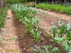 Douglas County Master Gardener's organic garden - Corn on Cob