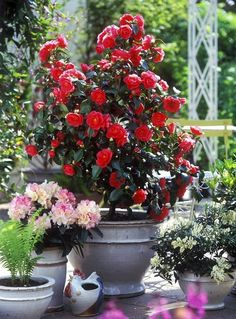 44 Best Shrubs for Containers Camelia in pots Grows best in climates with milder summers in temperate to subtropics. It becomes demanding. Camellia requires humus rich acidic soil and regular maintenance. Garden Shrubs, Flowering Shrubs, Garden Pots, Garden Landscaping, Landscaping Ideas, Garden Web, Balcony Garden, Garden Ideas, Container Plants