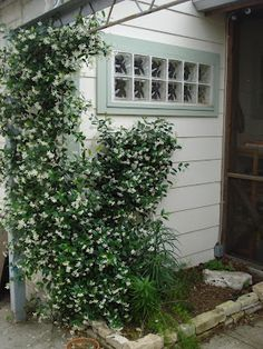 Jasmine vines around the master bedroom outside door and windows.