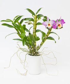 An Orchid FAQ: How to Repot, from Mallman Botanic Garden Orchid Show, Orchid Care, Orchid Nursery, Above The Rim, Orchid Roots, Biscuit, Chicago Botanic Garden, Growing Orchids, Green Tips