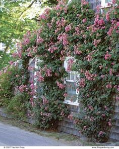 Pruning Climbing Roses: Prune yearly for healthier, more manageable growth and bigger, better flowers Prune, Garden Bulbs, Plants, Cottage Garden, Outdoor, Fine Gardening, Outdoor Gardens, Pruning Climbing Roses, Trees To Plant