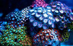 ZOANTHID Coral Garden
