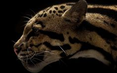 clouded leopard - Full HD Background 1920x1200