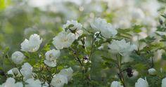 Bilderesultat for finlands hvite rose