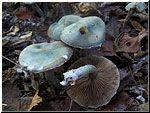 Echte kopergroenzwam (Psilocybe aeruginosa)