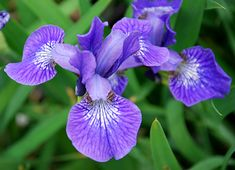 """'Baby Sister' J Approved Blooms early-mid to mid season. Size: 6""""-12"""" tall x 6""""-10"""" wide. Plant zones: 4-9. Light Requirements: full sun/partial shade  This charming dwarf Siberian Iris has violet blue flowers with deep purple veins and a white signal on the falls. Late spring to early summer blooms, plus attractive slender foliage in a dense clump all summer long."""