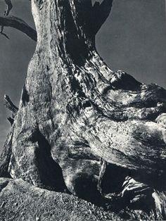 Edward Weston: Driftwood
