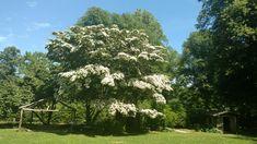 Kousa dogwood Kousa Dogwood, Old Westbury Gardens, Plants, Plant, Planets
