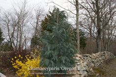 Chamaecyparis 'Oregon Blue  Growing as a pyramidal shaped evergreen with weeping branch tips, the attractive outline of the tree glistens throughout the seasons with sprays of lacy-textured, silvery-blue foliage. Left untouched, the eventual height can be around 30' tall, but, since it responds well to trimming, it can be maintained at manageable heights to be suitable for gardens of most sizes (for details refer to the plant care recommendations below).