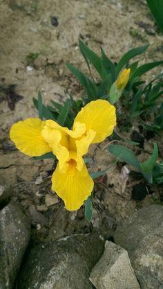 Iris in our garden near Staffolo, Italy