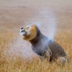 Celebrating these incredible cats for World Lion Day.  Lion (Panthera leo) male shaking mane after rain Masaai Mara (credit: NPL/Denis Huot). This is the only way to shoot a wild cat.  Share your best 'Wild Cat' photos and video with the #EarthCapture community. Read more: bbc.in/1Dzx74I by bbcearth