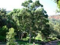 Heteropyxis natalensis, Lavender Tree