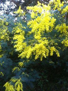 Mimosa sauvage corse du sud