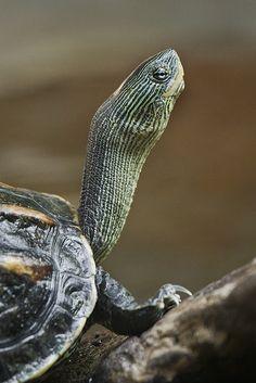 turlte turtle :)