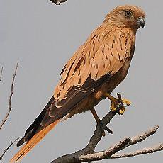 Fox Kestrel (Falco alopex)