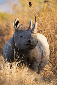 Black Rhino by Allan Høgholm