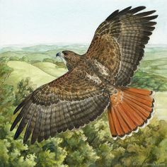 Red-tailed hawk in flight by Brenda Lyons