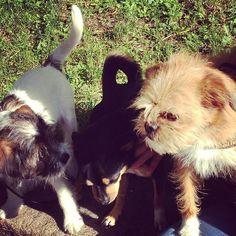heididahlsveen:  A morning with #atsjoo, Elmer and Alfred #mixedbreed #dogs #hunder