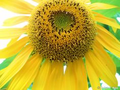 Smiling Face of a Sunflower