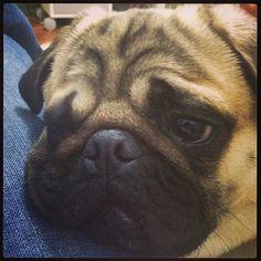 My Pug Obsession #pug, #pugs, #puppies, #thaifernandes, #thaisafernandes, #@Thaisa_Fernandes, #thaiarayashiki, thaifernandes_deviantart, thaifernandes_Twitpic