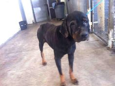 ANSWERED PRAYERS-SHE & HER BABIES MOVED TO A RESCUE. PLEASE HONOR PLEDGES FOR THEIR CARE.  MIAMI, FL [SOS] KARLEE - A1513070 IF YOU KNOW OF A ROTTIE RESCUE..URGENT! SHARE & PLEDGE HELP SWEET ROTTIE GAL, SHE LOOKS EMACIATED AND SICK! I'm a unaltered female, black and tan Rottweiler.I'm 3 yrs old I've been @Matt Valk Chuah shelter since Mar 09, 2013.THIS JUST BREAKS MY HEART, PLEASE GOD HELP...