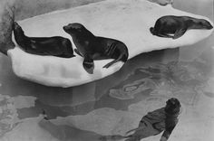 "Five #sealions in their new home at the Children's Zoo in  Birmingham in a photo dated June 1975. According to the caption, ""The warm climate is ideal for the sea lions"""
