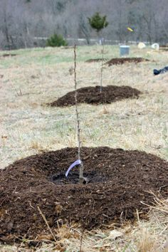 how to successfully plant fruit trees