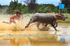 Annual Buffalo Festival of Chonburi, Thailand Festivals Around The World, Buffalo, Thailand, Around The Worlds, Racing, Horses, City, Travel, Animals