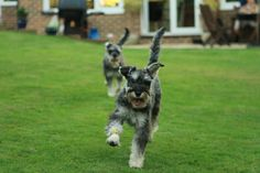 Run for it - mini schnauzer brothers making a run for it