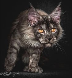 Are Cats Nocturnal Pretty Cats, Beautiful Cats, Cute Cats And Kittens, Big Cats, Tortoiseshell Tabby, Big House Cats, Cat And Dog Memes, Buy A Kitten, Teacup Cats