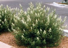 FERNBUSH: The showy flower spikes resemble those of white lilacs from afar, but close up resemble more of a single rose. The foilage has a ferny appearance and is greyish green. Fernbush will grow well in gravel, sandy loam, loam and clay loam soils. and is very drought tolerant, good drainage is important. The spent flower heads should be deadheaded in late summer. Mature Height 6-8 feet Moisture Well Drained, Drought Tolerant Full Sun Flower Color White Foliage Color grey/green Zones 4-9