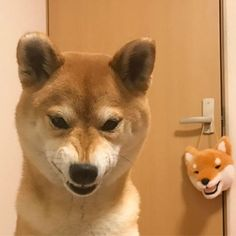 おやつが歯に挟まってあたふた中 #怒ってない #生首たん #柴犬 #shiba #shibainu #weeklyfluff #ilovemydog #cute #love #kawaii #Regram via @minapple