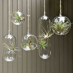 We've written about air plants here before, but their sculptural qualities, easy maintenance and clever display options appeal to the modern green home and are worth mentioning again. Usually a part of the Bromeliad family, they thrive independent of soil or standing water and are a good way to add a little greenery to a room, especially in small spaces.