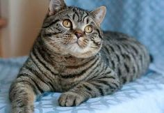 Delphinium British Shorthair Cats