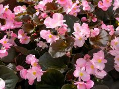Remember for Summer 2015 garden to mix with Dusty Miller in garden beds...Begonia Bronze-Leaf Pink