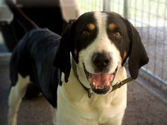 RESCUED!  #BURRITO is a male, Treeing Walker #Coonhound who weighs approximately 55-65 lbs and looks to be 3-5 years old. He is good with other #dogs and in need of rescue or adoption from the Pocahontas County Animal Shelter in Marlinton, #WV.  More PHOTOS: https://www.facebook.com/media/set/?set=a.632504520192711.1073741971.257761584333675&type=3&uploaded=2  #treeingwalker #TWC  For #ADOPTION or #RESCUE info email: asapwva@gmail.com