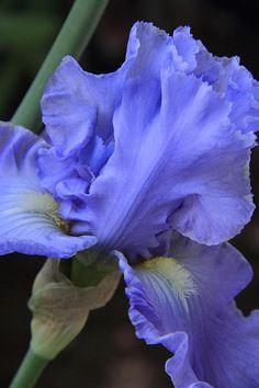 Bearded Iris - by Angie Vogel